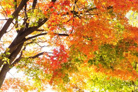 acer palmatum: Branches of red acer palmatum in autumn