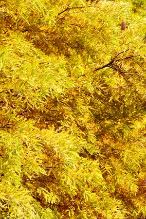 cypress tree: colorful autumn Bald Cypress tree (Taxodium distichum) Stock Photo