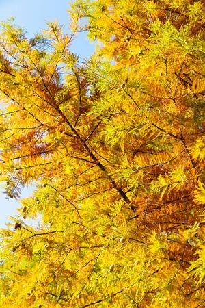 cypress tree: close up of colorful autumn Bald Cypress tree (Taxodium distichum)