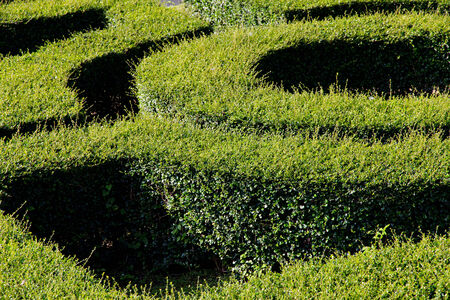 ornamental bush: labyrinth maze of fukien tea leafs Stock Photo