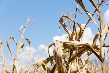 non cultivated land: drought corn field