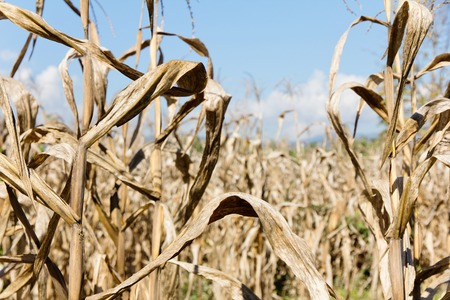 planta de maiz: campo de maíz sequía
