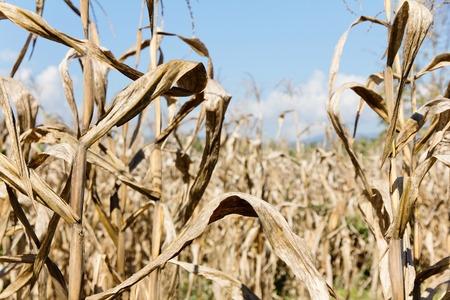 drought: drought corn field