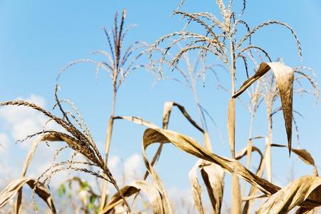 non cultivated: drought corn field
