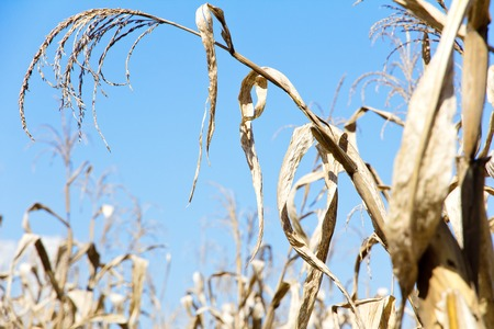 drought corn field