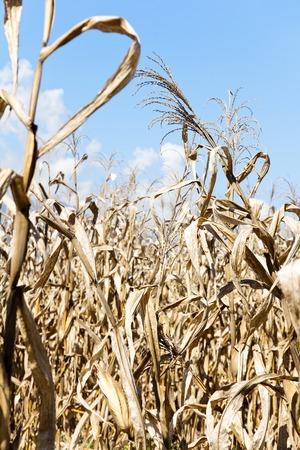 sequias: campo de maíz sequía