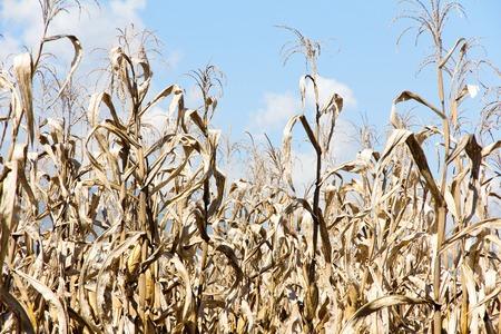 non cultivated land: Dry season in a corn field. Stock Photo