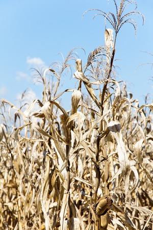 non cultivated: Dry season in a corn field. Stock Photo