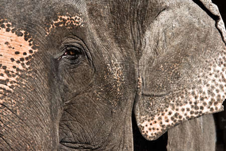 species living: Elephant Close Up