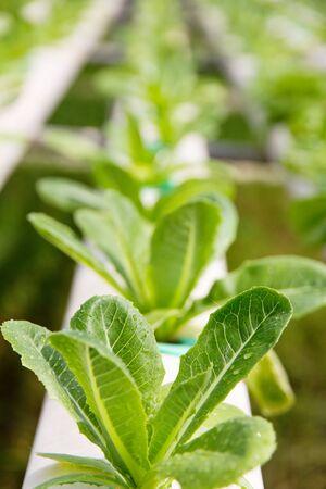 lactuca: Hydroponics vegetable farmclose up of Lettuce Crop Lactuca Leaf Vegetable