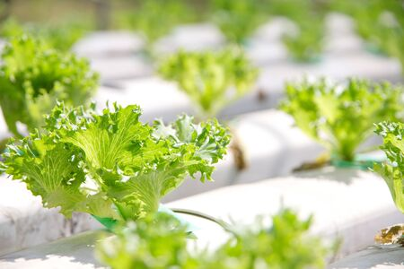 hydroponics: Hydroponics vegetable farm