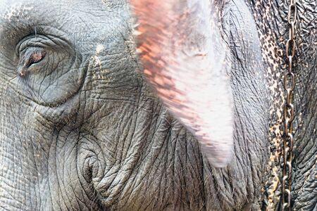 big ear: Elephant portrait. Stock Photo