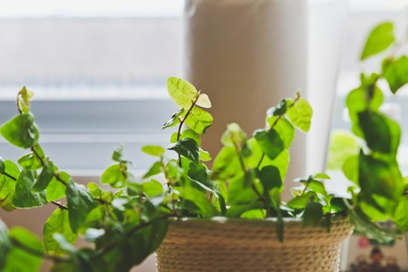 ingredients tap: plant on kitchen windowsill, close up Stock Photo