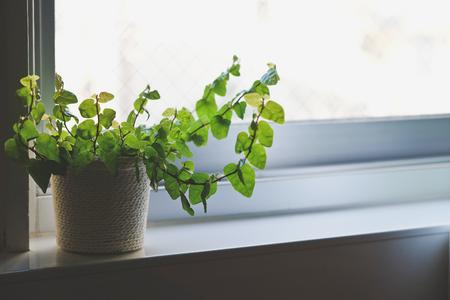 windowsill: plant on kitchen windowsill, close up Stock Photo