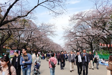 cherrytree: TOKYO, JAPAN - MARCH 29, 2016: Ueno Park during the cherry blossom season on 29 March 2016. Ueno Park is one of Tokyos most popular and lively cherry blossom spots with more than 1000 cherry trees.