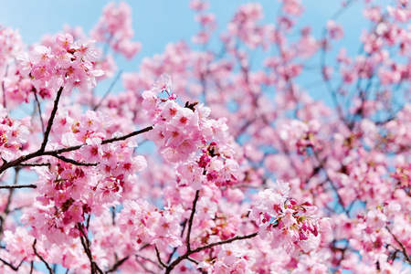 cherrytree: cherry blossom season Editorial