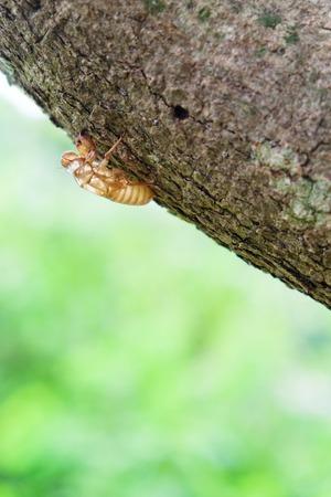 molting: cicada moulting