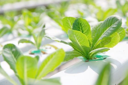 leaf vegetable: Hydroponics vegetable farm,close up of Lettuce Crop Lactuca Leaf Vegetable