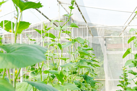 Plantation of melon in greenhouse.