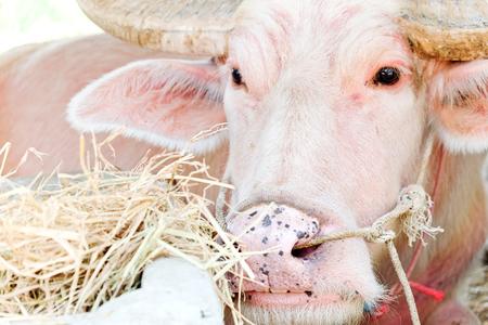 portrait of albino buffalo in farm Stock Photo