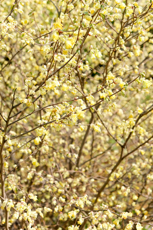 hazel branches: corylopsis pauciflora, Numerous short racemes of primrose yellow flower,The fragrant flowers appear from early to mid-spring.