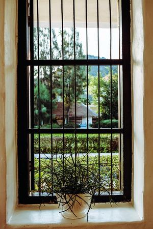 Euphorbia tirucalli plant on window