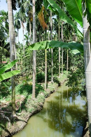 Betel Nuts plantation in thailand