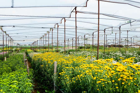 View of Gerbera cultivated flower beds and chrysanthemum flowers are being cultivated on a farm in Saraburi, Thailand