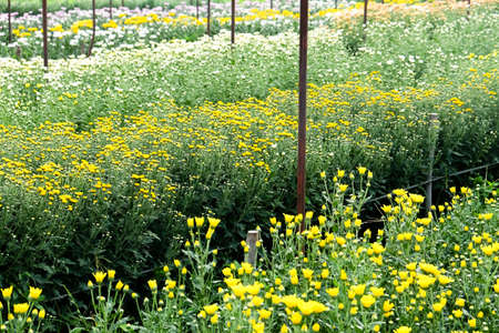 View of Gerbera cultivated flower beds and chrysanthemum flowers are being cultivated on a farm in Saraburi, Thailand Banco de Imagens