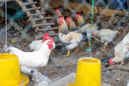 farm animals, Chickens on traditional free range poultry farm in Saraburi province, Thailand