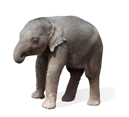 baby elephant, isolated  photo