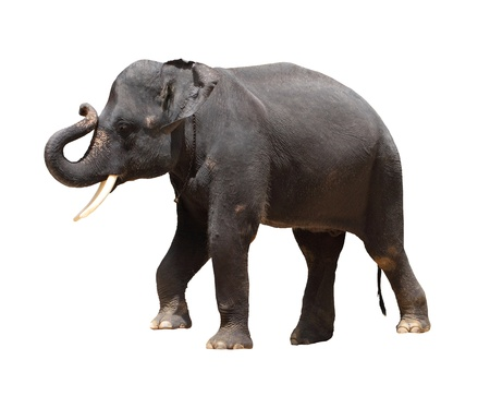 wild asia: Asia Thai elephant isolated