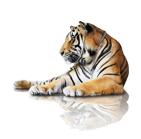 tiger- isolated on white background with reflection, a shadow  photo
