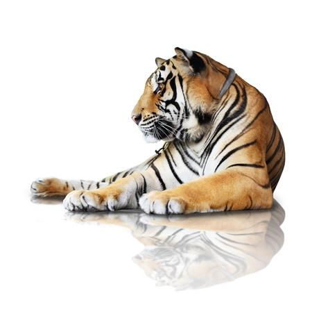 tigre blanc: tigre isolé sur fond blanc avec la réflexion, l'ombre