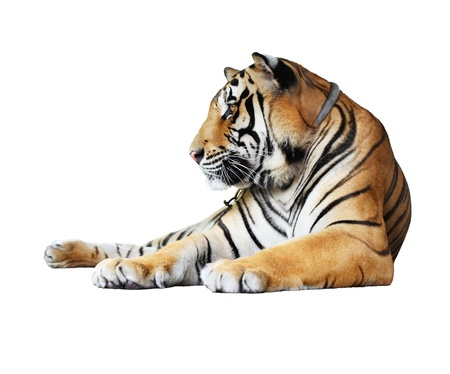 siberian tiger: tiger- isolated on white background