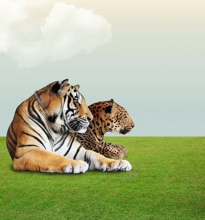 Leopard and tiger  under the sky with cloud on grass floor Stock Photo
