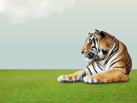 tiger under the sky with cloud on grass floor photo