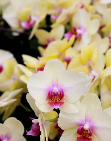 yellow Orchid flowers closeup photo