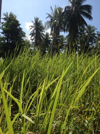 Coconut tree on grass Stock Photo - 20625358