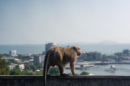 barbary ape: monkey in city