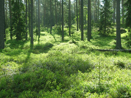 Magic forest in Northern Europe, homes of trolls and elves