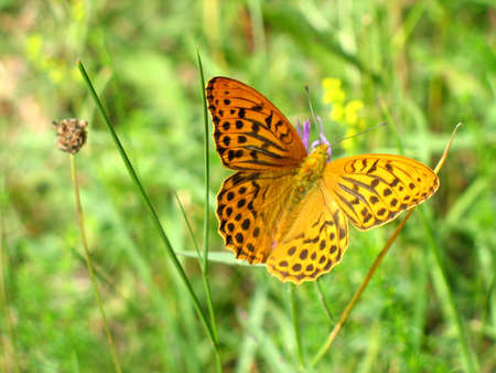 A Lesser Marbled Fritillary, Brenthis Ino in latin photo