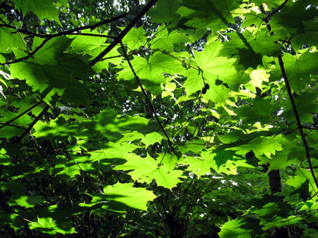 Maple leaves in other tight vegetation with beautiful light