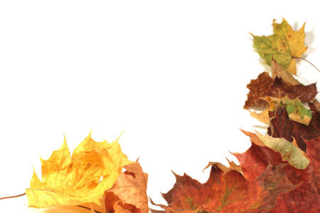 Maple leaves in the fall, isolated photo