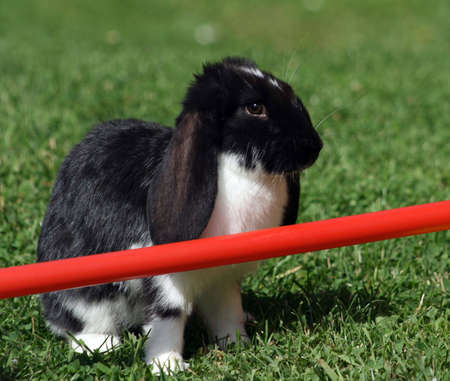Rabbit hesitating to jump over a barrier