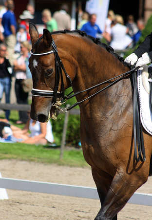 bowing head: Dressage with beautiful brown horse and rider Stock Photo