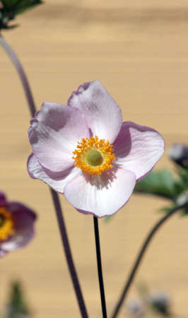 windflower: Pink japanese windflower also called anemone hupehensis Stock Photo
