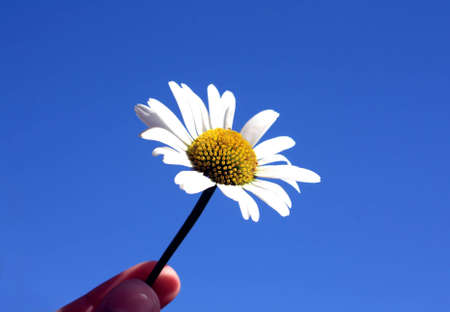 Oxeye daisy held on clear blue background photo