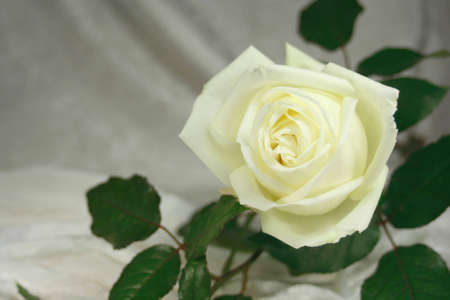 White rose with message area for wedding or funeral