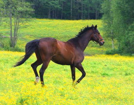 Beautiful brown horse running across a yellow field Foto de archivo